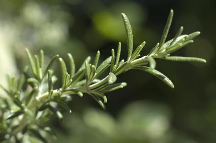 antioxidant rosemary